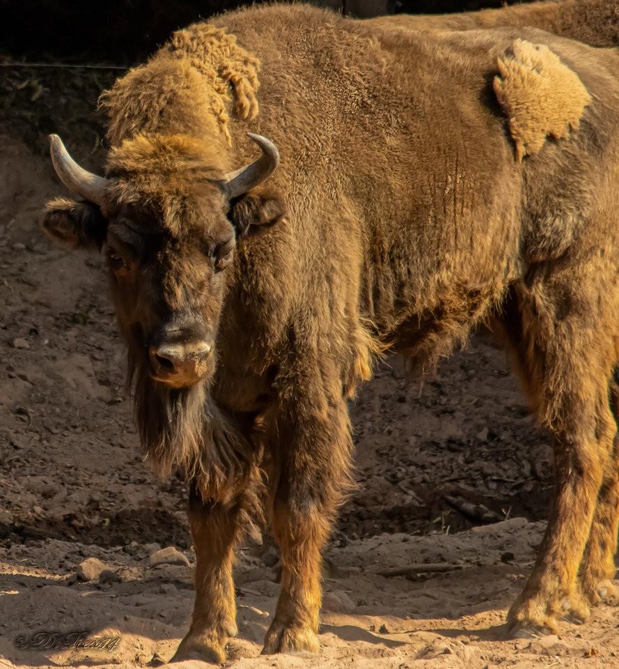 bison_14082019.jpg