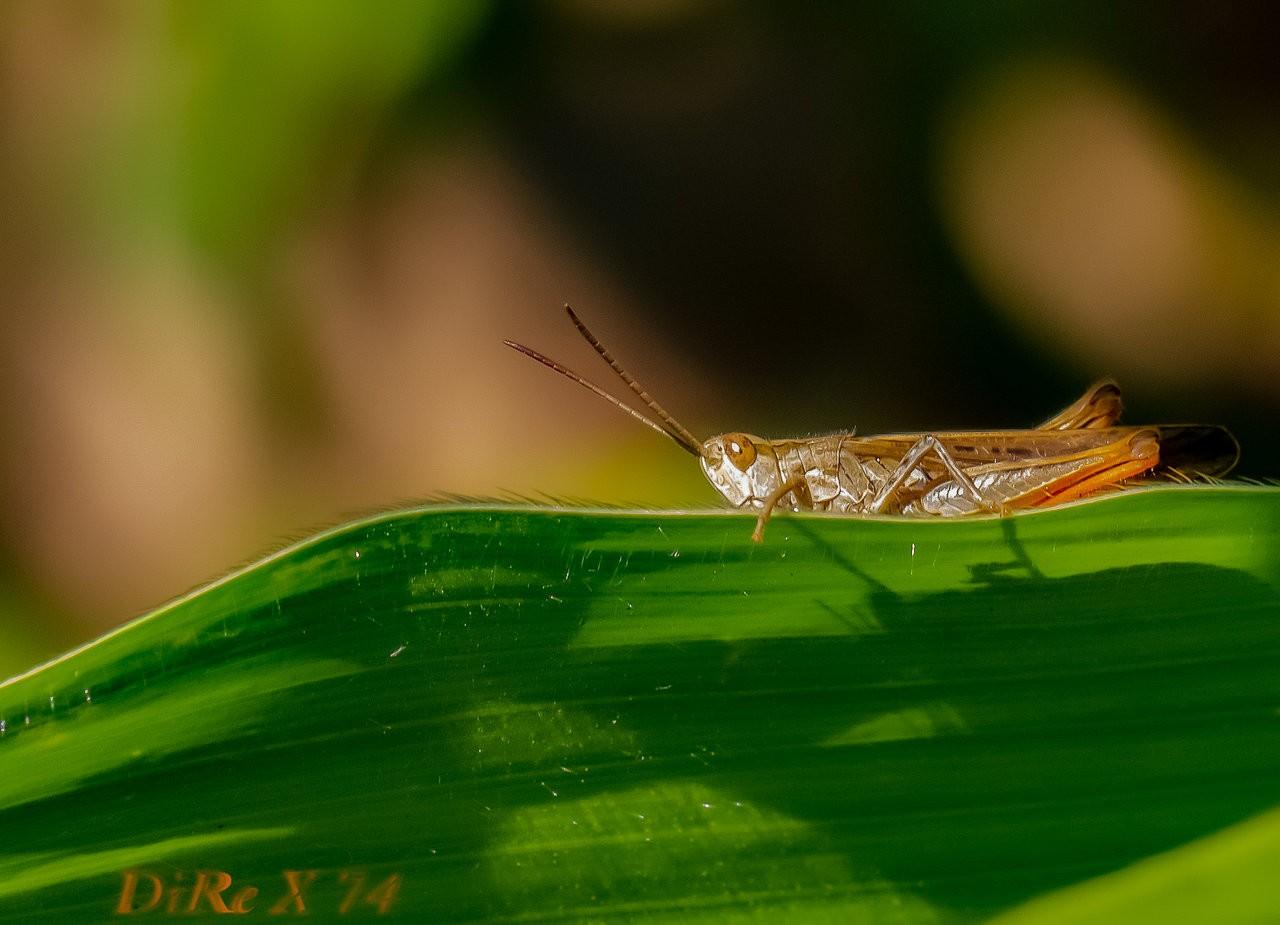 grasshopper_12072019-2.jpg