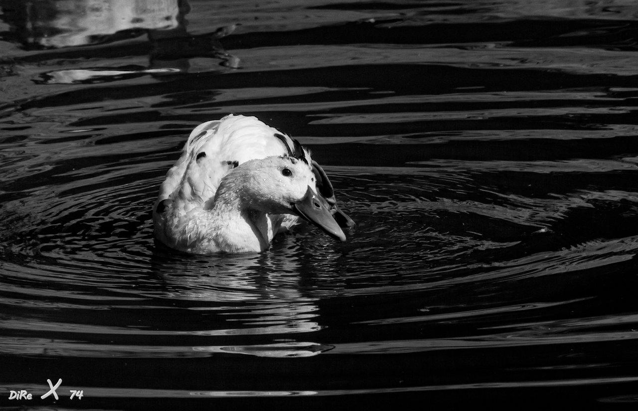 white-duck_12102020-2-jpg.422743