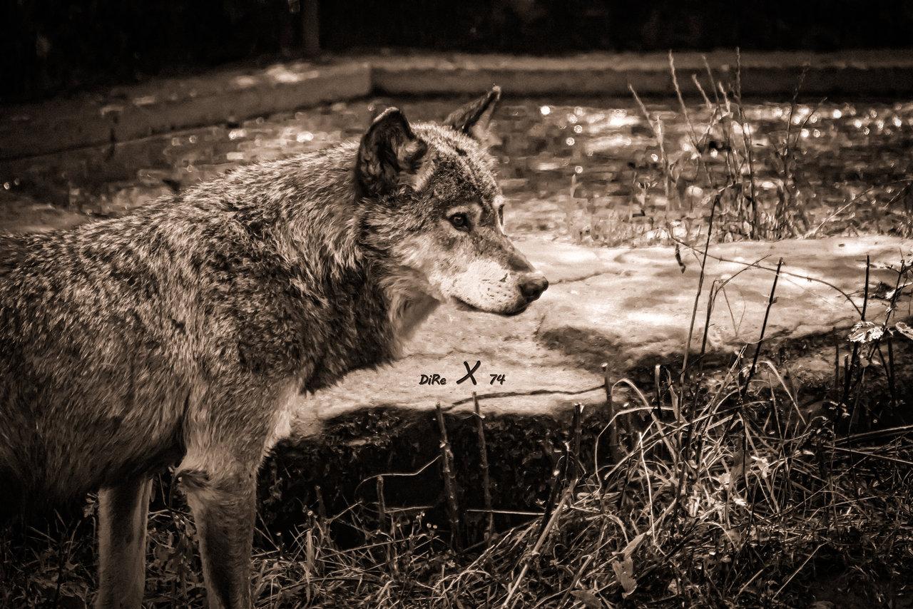 wolf_05102020-2-jpg.421112